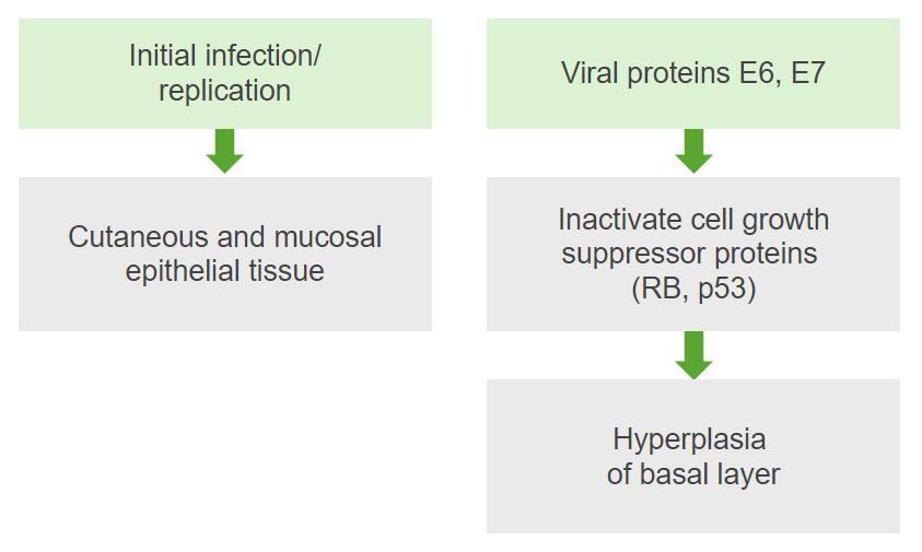 pathophysiology of human papillomavirus infection