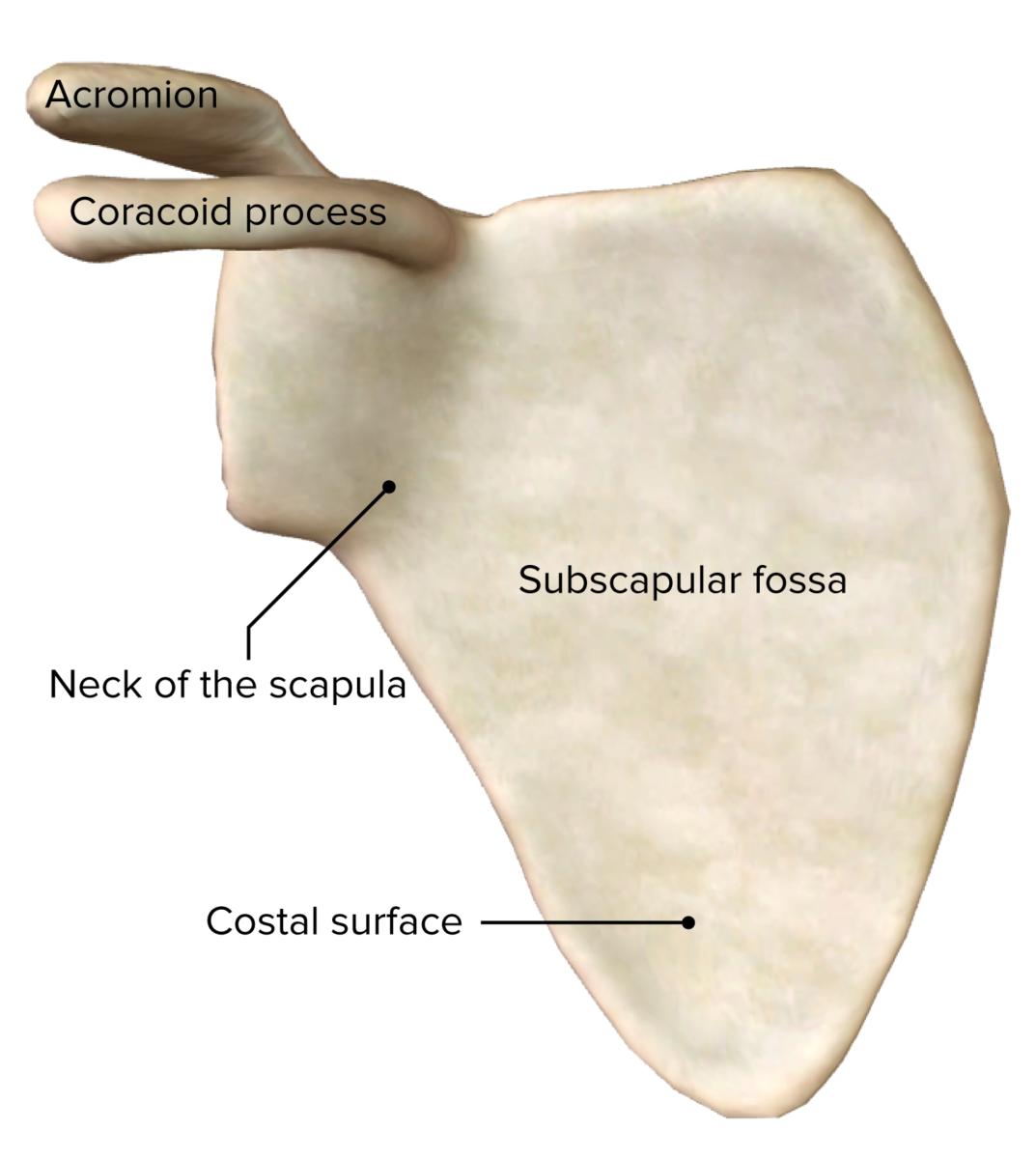 Scapula anterior
