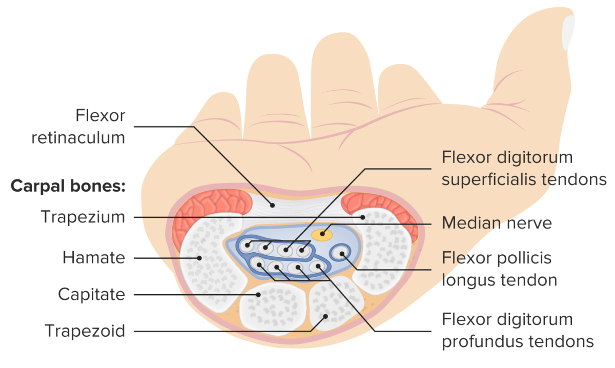 Structure and contents of the carpal tunnel