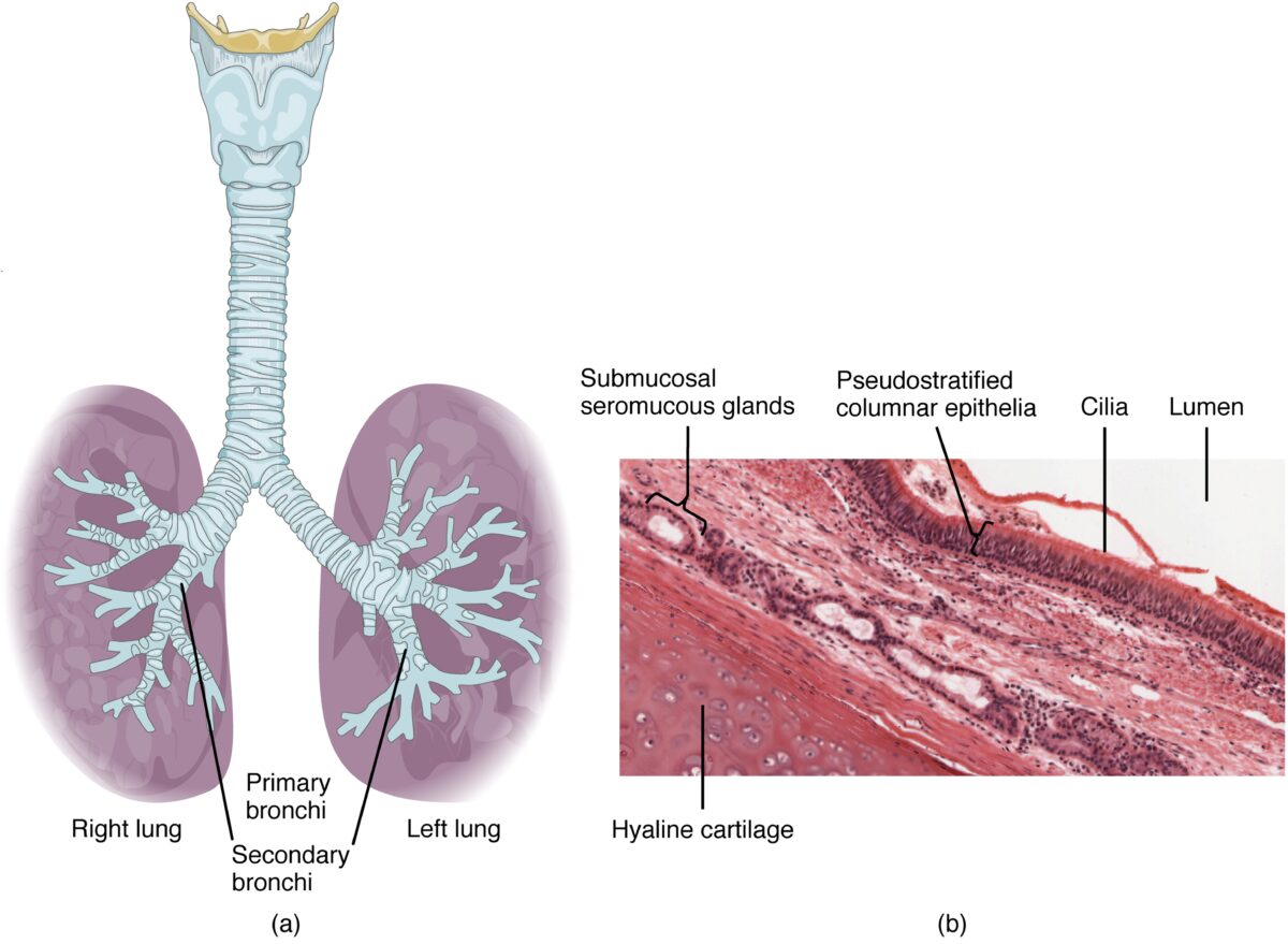 Various layers of tissue Trachea and Larynx