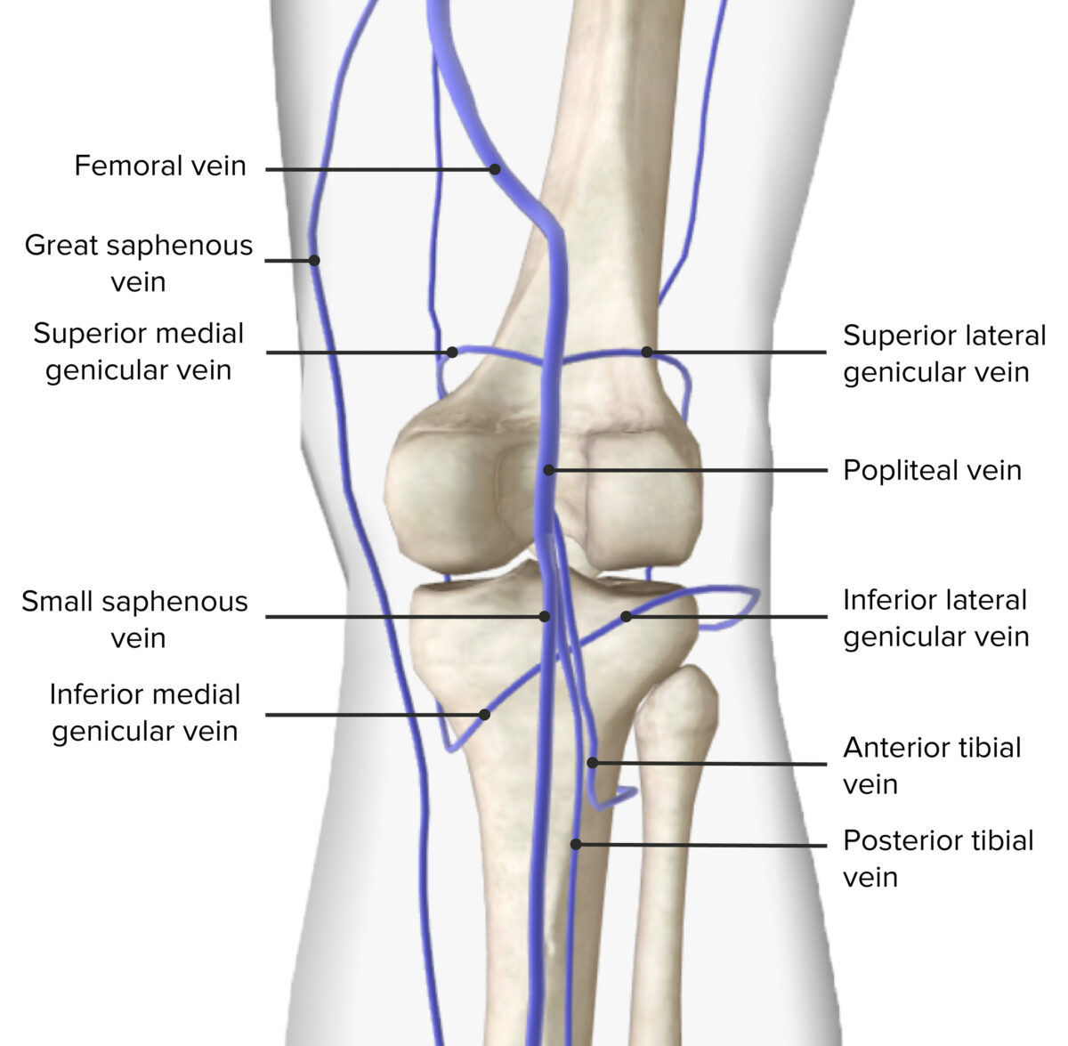 Venous drainage of the popliteal fossa
